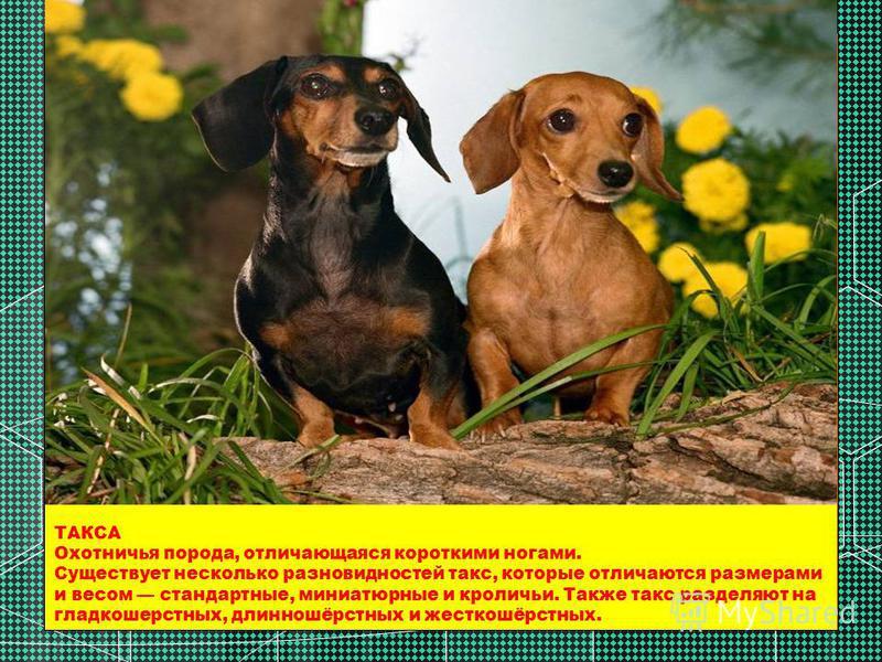 ТАКСА Охотничья порода, отличающаяся короткими ногами. Существует несколько разновидностей такс, которые отличаются размерами и весом стандартные, миниатюрные и кроличьи. Также такс разделяют на гладкошерстных, длинношёрстных и жесткошёрстных.
