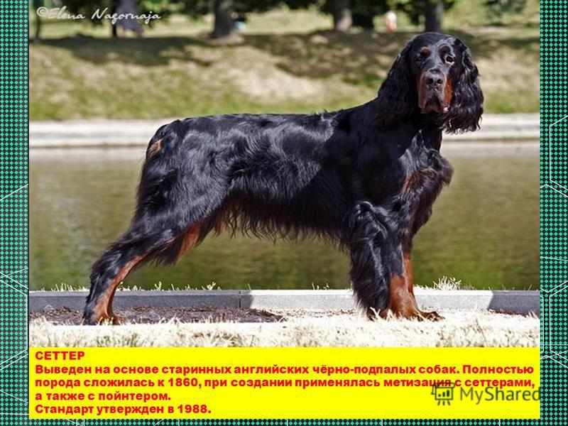 СЕТТЕР Выведен на основе старинных английских чёрно-подпалых собак. Полностью порода сложилась к 1860, при создании применялась метизация с сеттерами, а также с пойнтером. Стандарт утвержден в 1988.