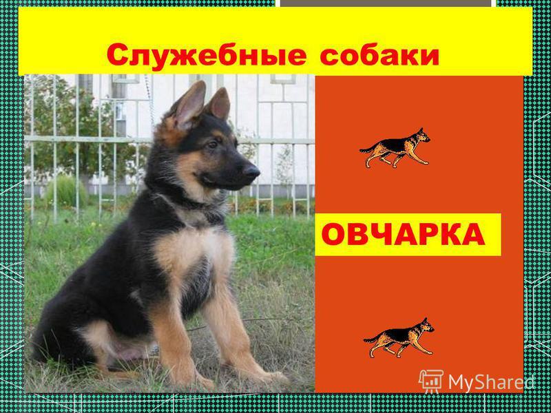 Служебные собаки ОВЧАРКА