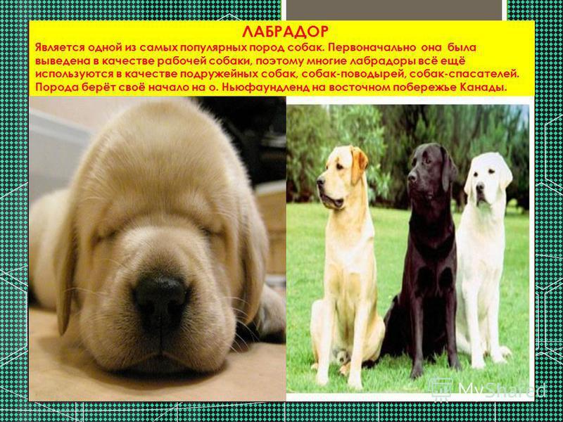 ЛАБРАДОР Является одной из самых популярных пород собак. Первоначально она была выведена в качестве рабочей собаки, поэтому многие лабрадоры всё ещё используются в качестве подружейных собак, собак-поводырей, собак-спасателей. Порода берёт своё начал