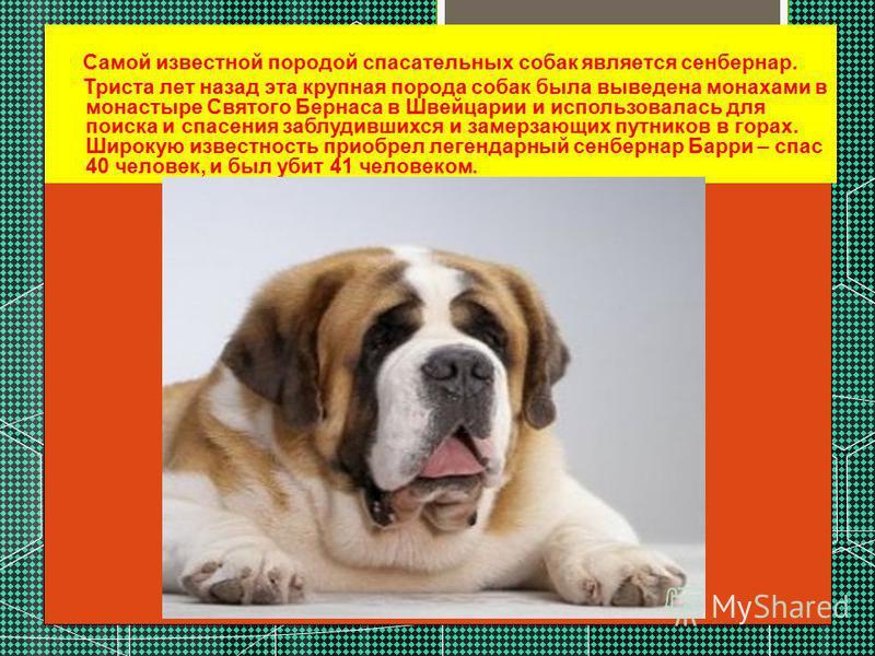 Самой известной породой спасательных собак является сенбернар. Триста лет назад эта крупная порода собак была выведена монахами в монастыре Святого Бернаса в Швейцарии и использовалась для поиска и спасения заблудившихся и замерзающих путников в гора
