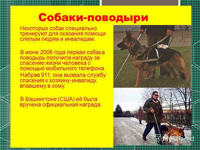 Собаки-поводыри Некоторых собак специально тренируют для оказания помощи слепым людям и инвалидам. В июне 2006 года первая собака поводырь получила награду за спасение жизни человека с помощью мобильного телефона. Набрав 911, она вызвала службу спасе