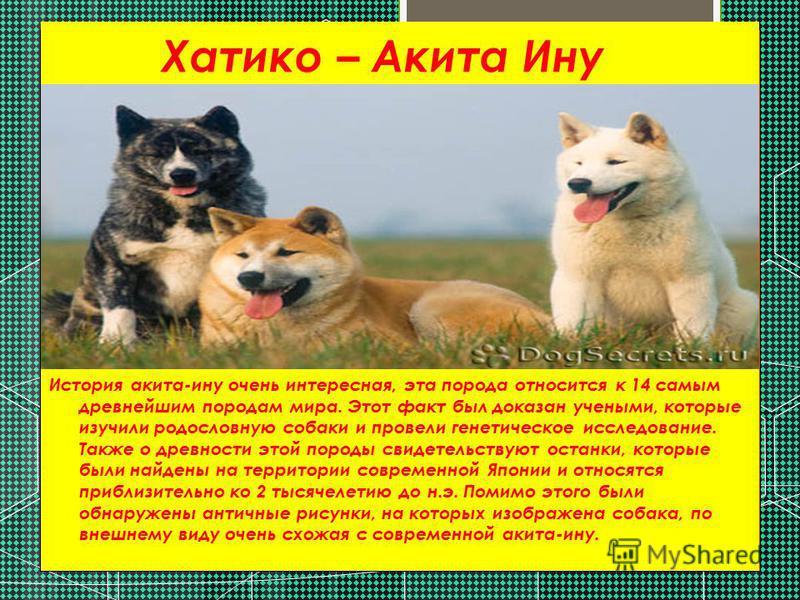 Хатико – Акита Ину История акита-ину очень интересная, эта порода относится к 14 самым древнейшим породам мира. Этот факт был доказан учеными, которые изучили родословную собаки и провели генетическое исследование. Также о древности этой породы свиде