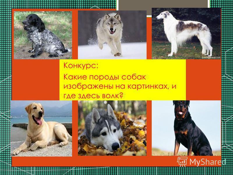 . Конкурс: Какие породы собак изображены на картинках, и где здесь волк?