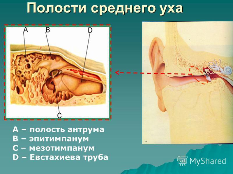 Полости среднего уха A – полость антрума B – эпитимпанум C – мезотимпанум D – Евстахиева труба