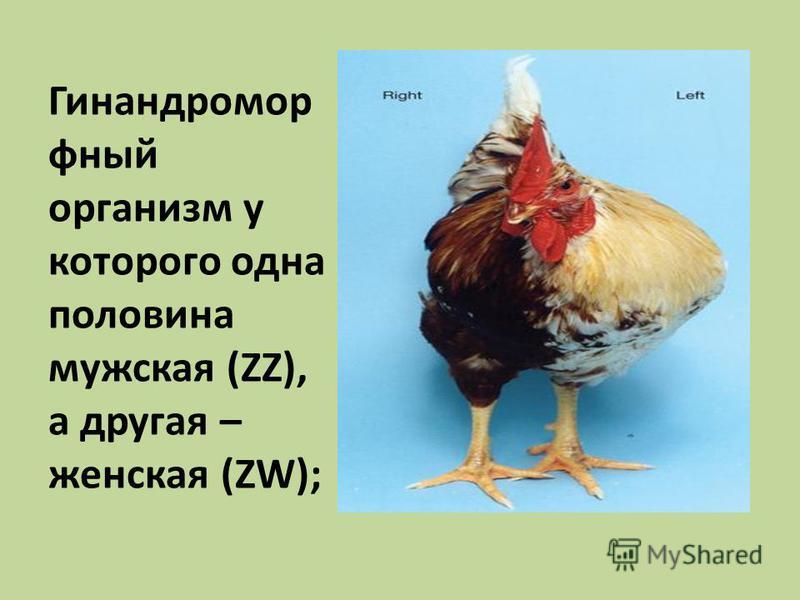 Гинандромор юный организм у которого одна половина мужская (ZZ), а другая – женская (ZW);