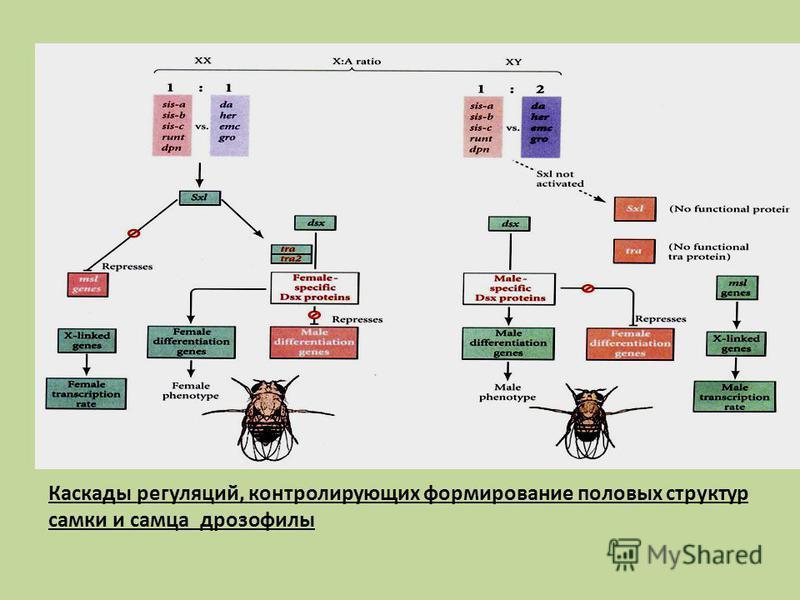 Каскады регуляций, контролирующих формирование половых структур самки и самца дрозофилы