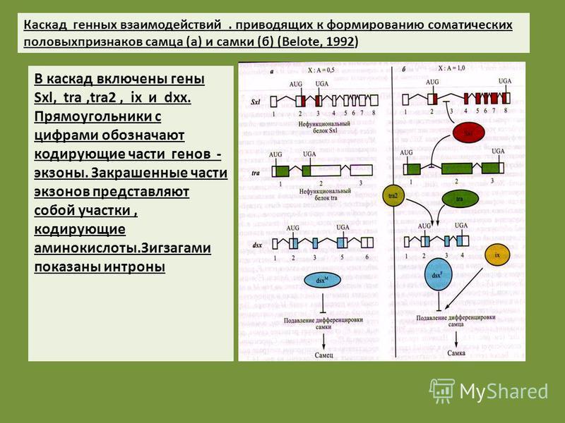 В каскад включены гены Sxl, tra,tra2, ix и dxx. Прямоугольники с цифрами обозначают кодирующие части генов - экзоны. Закрашенные части экзонов представляют собой участки, кодирующие аминокислоты.Зигзагами показаны интроны Каскад генных взаимодействий