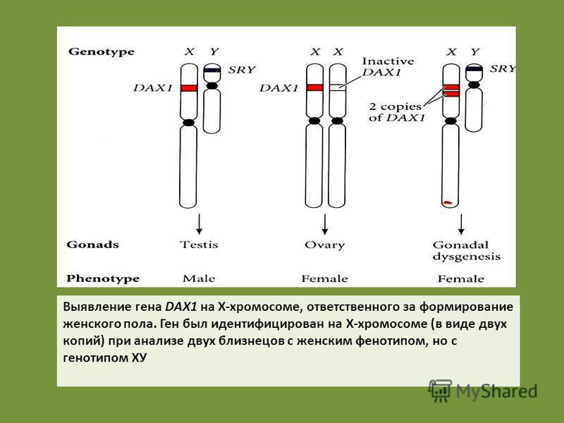 Выявление гена DAX1 на X-хромосоме, ответственного за формирование женского пола. Ген был идентифицирован на X-хромосоме (в виде двух копий) при анализе двух близнецов с женским фенотипом, но с генотипом ХУ