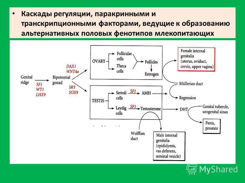 Каскады регуляции, паракринными и транскрипционными факторами, ведущие к образованию альтернативных половых фенотипов млекопитающих