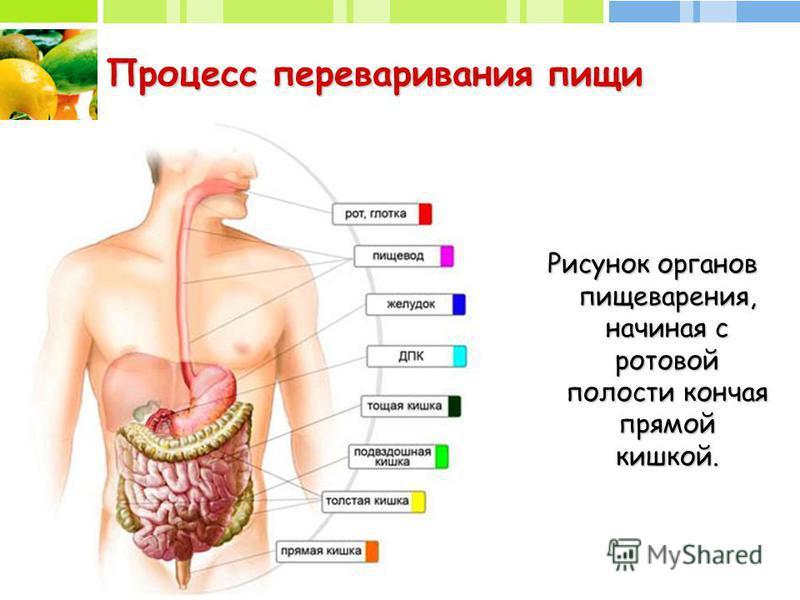 Процесс переваривания пищи Рисунок органов пищеварения, начиная с ротовой полости кончая прямой кишкой.