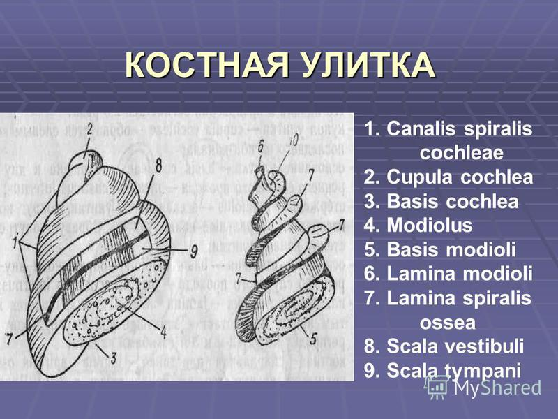 КОСТНАЯ УЛИТКА 1. Сanalis spiralis cochleae 2. Cupula cochlea 3. Basis cochlea 4. Modiolus 5. Basis modioli 6. Lamina modioli 7. Lamina spiralis ossea 8. Scala vestibuli 9. Scala tympani