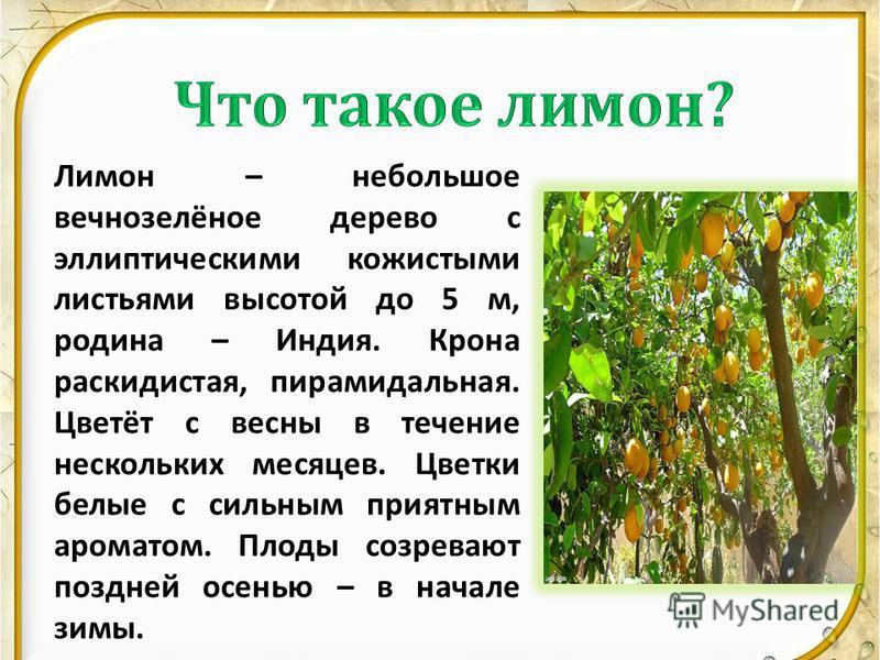 Лимон – небольшое вечнозелёное дерево с эллиптическими кожистыми листьями высотой до 5 м, родина – Индия. Крона раскидистая, пирамидальная. Цветёт с весны в течение нескольких месяцев. Цветки белые с сильным приятным ароматом. Плоды созревают поздней