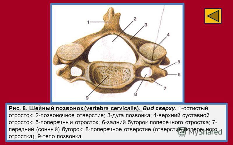 Рис. 8. Шейный позвонок (vertebra cervicalis). Вид сверху. 1-остистый отросток; 2-позвоночное отверстие; 3-дуга позвонка; 4-верхний суставной отросток; 5-поперечныи отросток; 6-задний бугорок поперечного отростка; 7- передний (сонный) бугорок; 8-попе