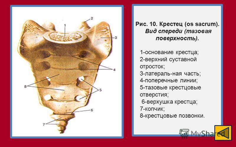 Рис. 10. Крестец (os sacrum). Вид спереди (тазовая поверхность). 1-основание крестца; 2-верхний суставной отросток; 3-латераль-ная часть; 4-поперечные линии; 5-тазовые крестцовые отверстия; 6-верхушка крестца; 7-копчик; 8-крестцовые позвонки.
