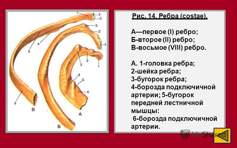 Рис. 14. Ребра (costae). Апервое (I) ребро; Б-второе (II) ребро; В-восьмое (VIII) ребро. A. 1-головка ребра; 2-шейка ребра; 3-бугорок ребра; 4-борозда подключичной артерии; 5-бугорок передней лестничной мышцы: 6-борозда подключичной артерии.