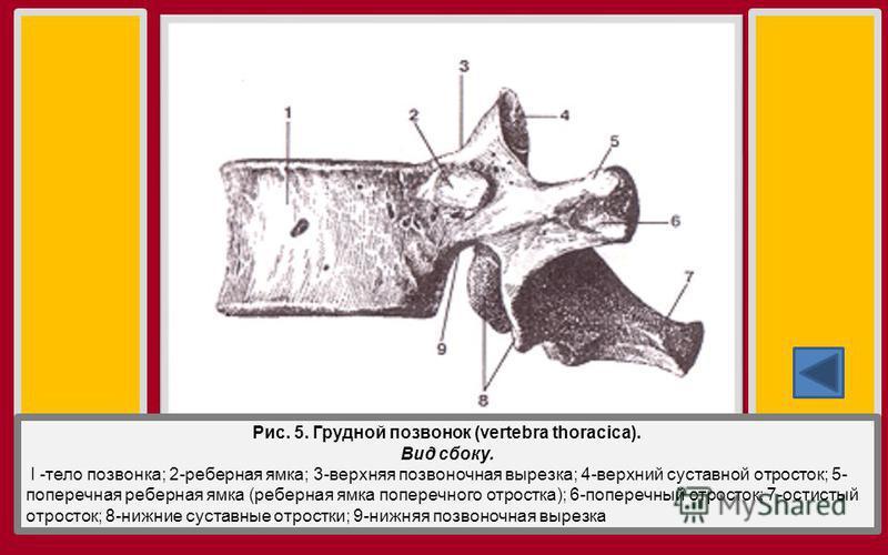 Рис. 5. Грудной позвонок (vertebra thoracica). Вид сбоку. I -тело позвонка; 2-реберная ямка; 3-верхняя позвоночная вырезка; 4-верхний суставной отросток; 5- поперечная реберная ямка (реберная ямка поперечного отростка); 6-поперечный отросток; 7-остис