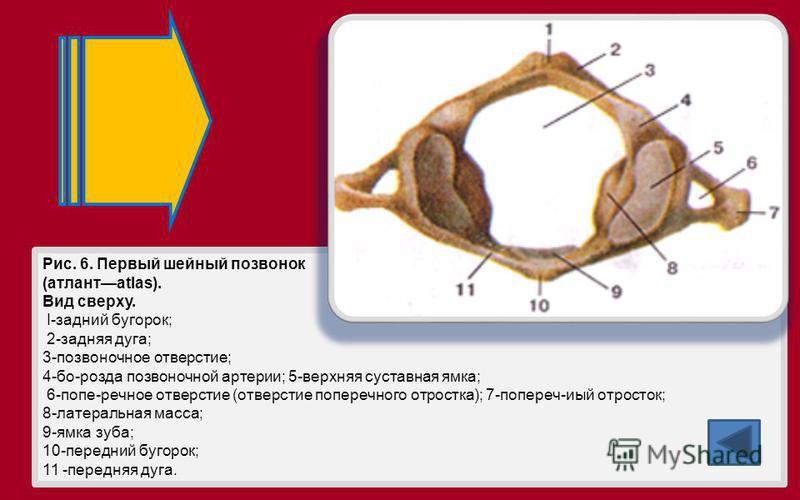 Рис. 6. Первый шейный позвонок (атлантatlas). Вид сверху. I-задний бугорок; 2-задняя дуга; 3-позвоночное отверстие; 4-бо-розда позвоночной артерии; 5-верхняя суставная ямка; 6-попе-речное отверстие (отверстие поперечного отростка); 7-попереч-иый отро