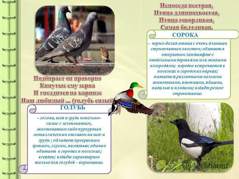 - черно-белая птица с очень длинным ступенчатым хвостом; обитает в открытом ландшафте с отдельными деревьями или живыми изгородями; нередко встречается в поселках и городских парках; питается различными мелкими животными, птенцами, яйцами, падалью и