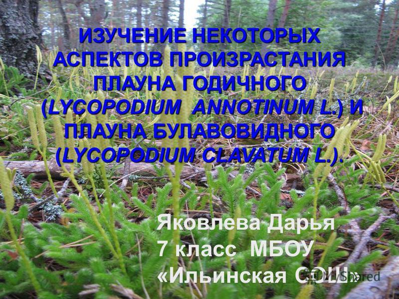 ИЗУЧЕНИЕ НЕКОТОРЫХ АСПЕКТОВ ПРОИЗРАСТАНИЯ ПЛАУНА ГОДИЧНОГО (LYCOPODIUM ANNOTINUM L.) И ПЛАУНА БУЛАВОВИДНОГО (LYCOPODIUM CLAVATUM L.). (LYCOPODIUM ANNOTINUM L.) И ПЛАУНА БУЛАВОВИДНОГО (LYCOPODIUM CLAVATUM L.). Яковлева Дарья 7 класс МБОУ «Ильинская СО