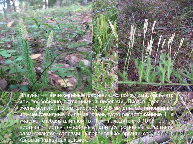 Плауны – вечнозелёные растения с ползучими, вильчато или вееровидной ветвящимися побегами. Листья цельные, очень мелкие, 1-2 мм шириной и 2-8 мм длиной, игловидные или чешуевидные, сидячие, очень густо расположенные. Н а участке стебля длинной в 1 см
