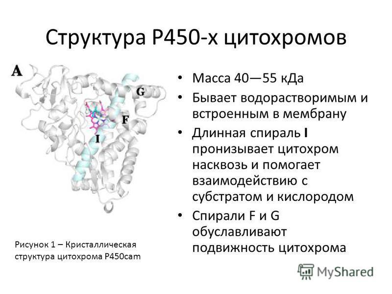 Структура P450-х цитохромов Масса 4055 к Да Бывает водорастворимым и встроенным в мембрану Длинная спираль I пронизывает цитохром насквозь и помогает взаимодействию с субстратом и кислородом Спирали F и G обуславливают подвижность цитохрома Рисунок 1