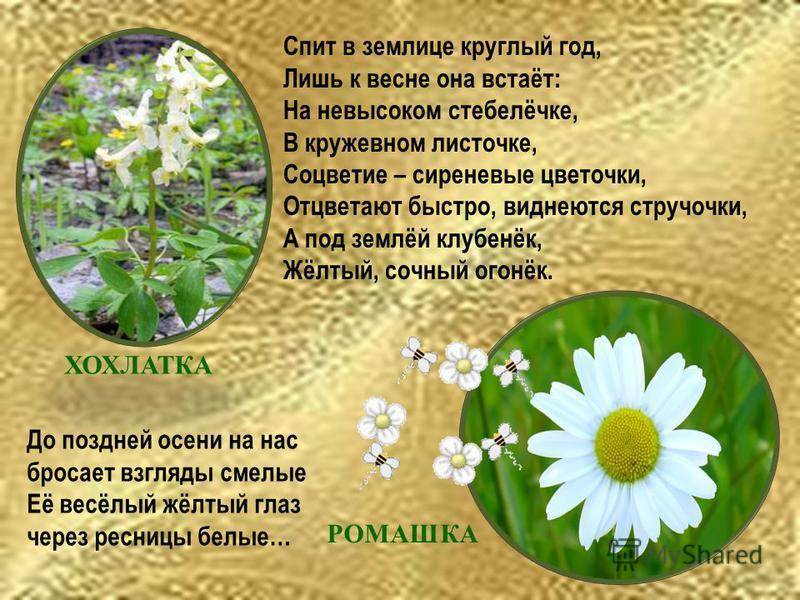 Спит в землице круглый год, Лишь к весне она встаёт: На невысоком стебелёчке, В кружевном листочке, Соцветие – сиреневые цветочки, Отцветают быстро, виднеются стручочки, А под землёй клубенёк, Жёлтый, сочный огонёк. ХОХЛАТКА До поздней осени на нас б