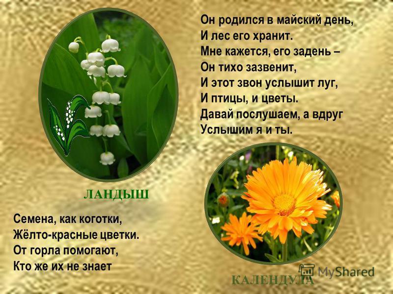Он родился в майский день, И лес его хранит. Мне кажется, его задень – Он тихо зазвенит, И этот звон услышит луг, И птицы, и цветы. Давай послушаем, а вдруг Услышим я и ты. ЛАНДЫШ КАЛЕНДУЛА Семена, как коготки, Жёлто-красные цветки. От горла помогают