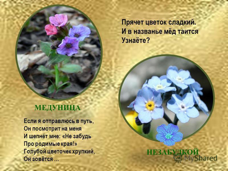 Прячет цветок сладкий. И в названье мёд таится Узнаёте? Если я отправлюсь в путь, Он посмотрит на меня И шепнёт мне: «Не забудь Про родимые края!» Голубой цветочек хрупкий, Он зовётся … НЕЗАБУДКОЙ МЕДУНИЦА