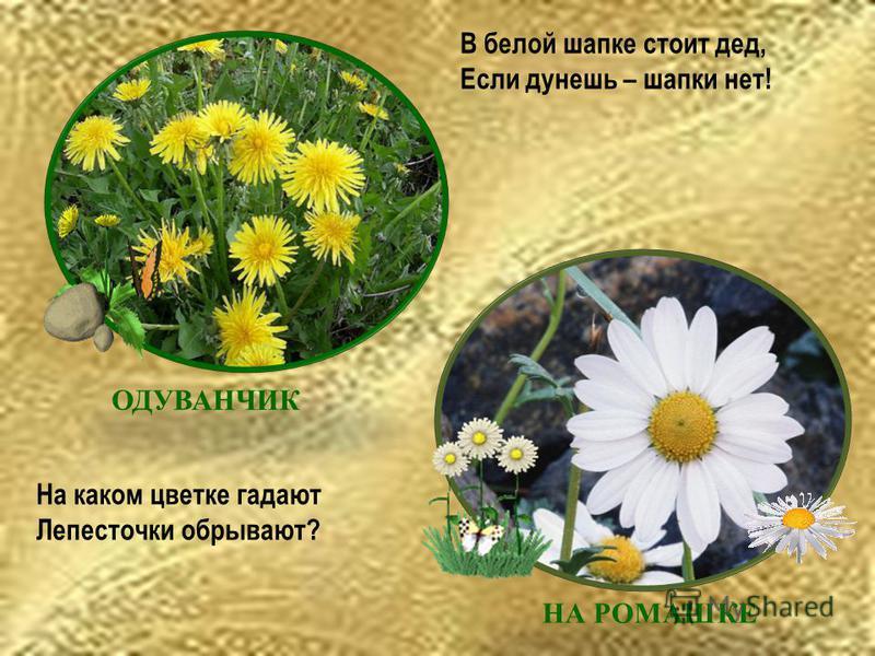 В белой шапке стоит дед, Если дунешь – шапки нет! На каком цветке гадают Лепесточки обрывают? НА РОМАШКЕ ОДУВАНЧИК