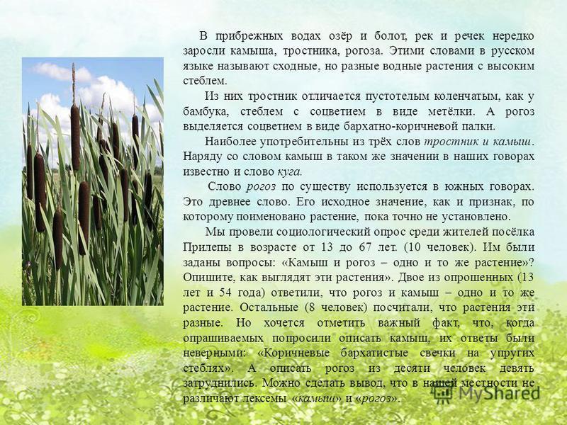 В прибрежных водах озёр и болот, рек и речек нередко заросли камыша, тростника, рогоза. Этими словами в русском языке называют сходные, но разные водные растения с высоким стеблем. Из них тростник отличается пустотелым коленчатым, как у бамбука, стеб