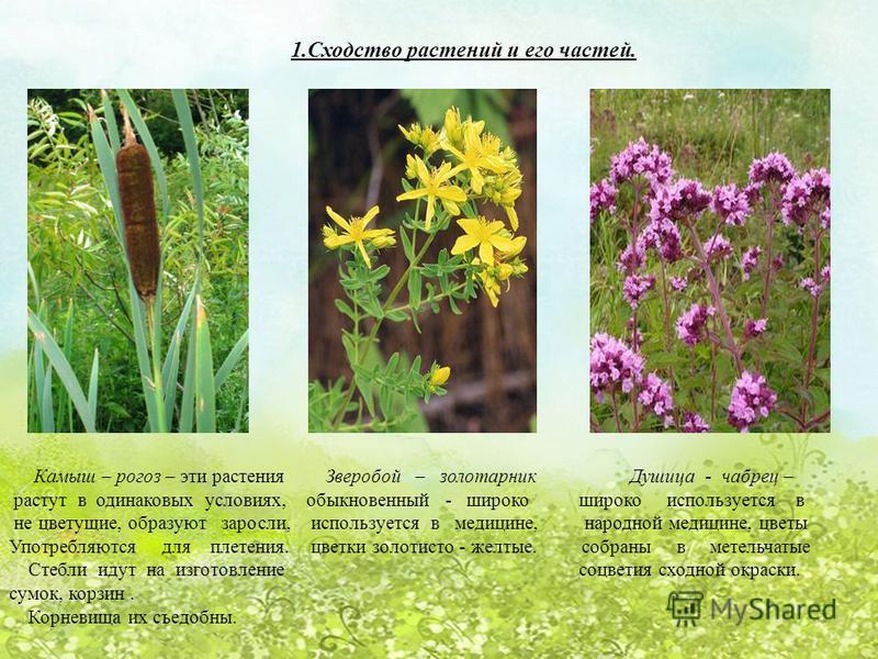 1. Сходство растений и его частей. Камыш – рогоз – эти растения Зверобой – золотарник Душица - чабрец – растут в одинаковых условиях, обыкновенный - широко широко используется в не цветущие, образуют заросли, используется в медицине, народной медицин