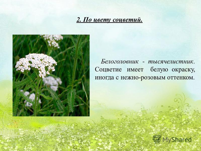 2. По цвету соцветий. Белоголовник - тысячелистник. Соцветие имеет белую окраску, иногда с нежно-розовым оттенком.