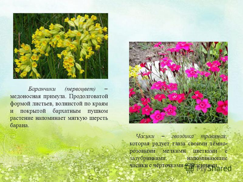 Баранчики (первоцвет) – медоносная примула. Продолговатой формой листьев, волнистой по краям и покрытой бархатным пушком растение напоминает мягкую шерсть барана. Ча́секи – гвоздика травяная, которая радует глаза своими тёмно- розовыми мелкими цветка