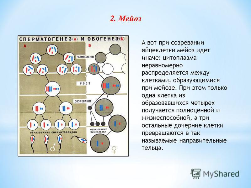 А вот при созревании яйцеклетки мейоз идет иначе: цитоплазма неравномерно распределяется между клетками, образующимися при мейозе. При этом только одна клетка из образовавшихся четырех получается полноценной и жизнеспособной, а три остальные дочерние