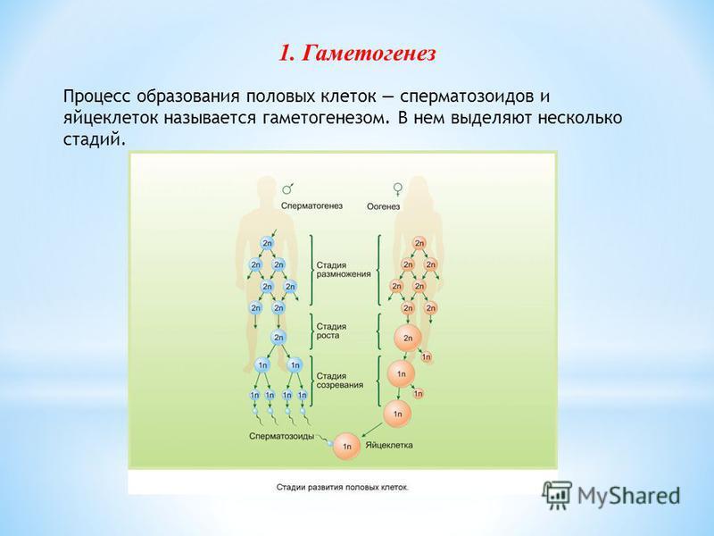 Процесс образования половых клеток сперматозоидов и яйцеклеток называется гаметогенезом. В нем выделяют несколько стадий. 1. Гаметогенез