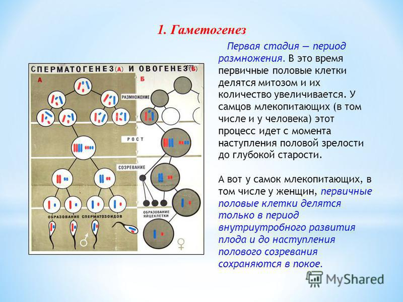 Первая стадия период размножения. В это время первичные половые клетки делятся митозом и их количество увеличивается. У самцов млекопитающих (в том числе и у человека) этот процесс идет с момента наступления половой зрелости до глубокой старости. А в