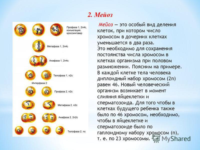 число хромосом в сперматозоиде человека-ьл3