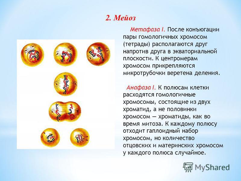 Метафаза I. После конъюгации пары гомологичных хромосом (тетрады) располагаются друг напротив друга в экваториальной плоскости. К центромерам хромосом прикрепляются микротрубочки веретена деления. Анафаза I. К полюсам клетки расходятся гомологичные х