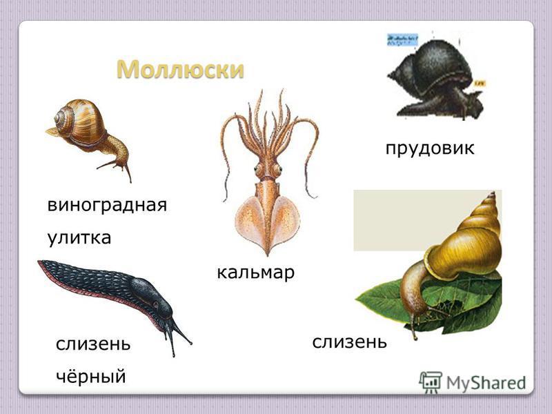 Моллюски виноградная улитка кальмар прудовик слизень чёрный слизень