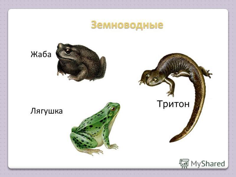 Земноводные Земноводные Жаба Лягушка Тритон