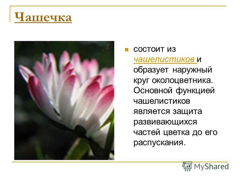 Чашечка состоит из чашелистиков и образует наружный круг околоцветника. Основной функцией чашелистиков является защита развивающихся частей цветка до его распускания.