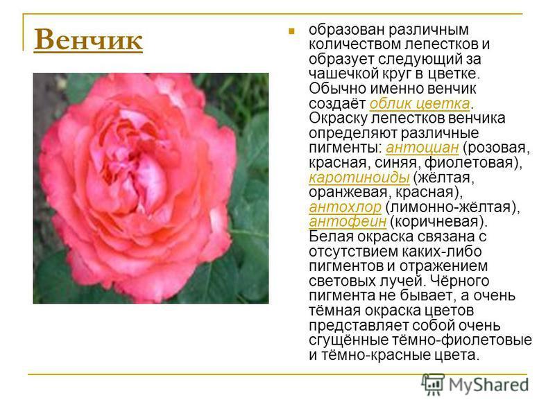 Венчик образован различным количеством лепестков и образует следующий за чашечкой круг в цветке. Обычно именно венчик создаёт облик цветка. Окраску лепестков венчика определяют различные пигменты: антоциан (розовая, красная, синяя, фиолетовая), карот