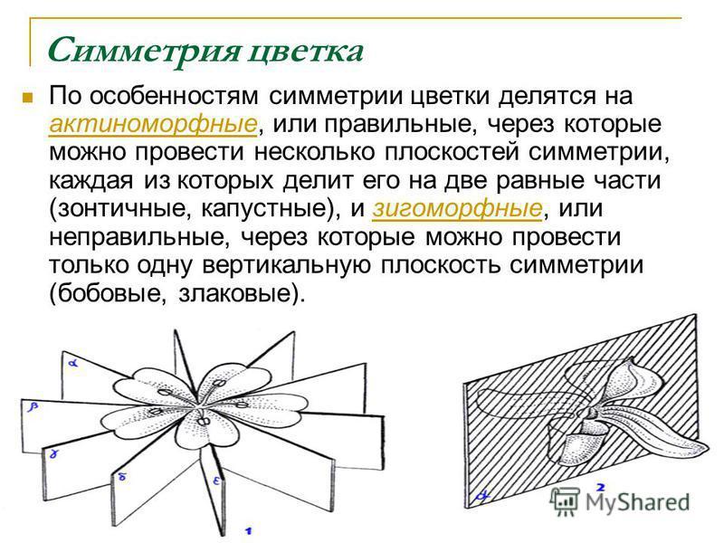 Симметрия цветка По особенностям симметрии цветки делятся на актиноморфные, или правильные, через которые можно провести несколько плоскостей симметрии, каждая из которых делит его на две равные части (зонтичные, капустные), и зигоморфные, или неправ