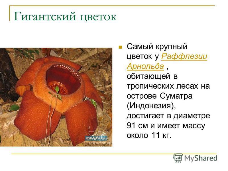 Гигантский цветок Самый крупный цветок у Раффлезии Арнольда, обитающей в тропических лесах на острове Суматра (Индонезия), достигает в диаметре 91 см и имеет массу около 11 кг.