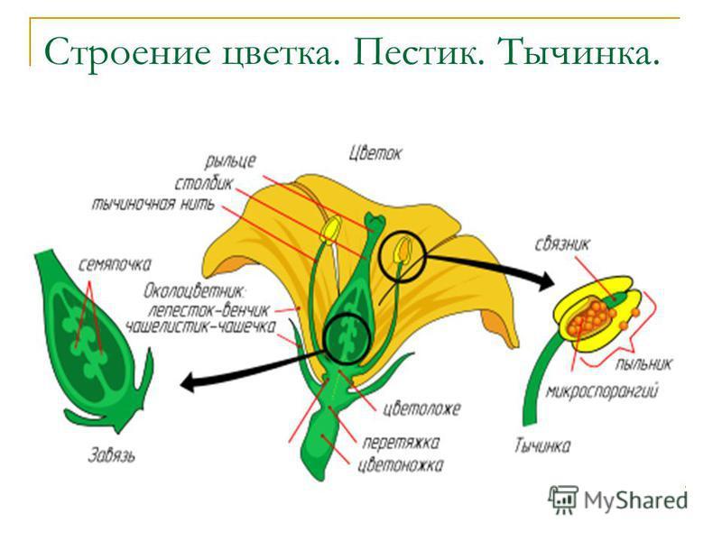 Строение цветка. Пестик. Тычинка.