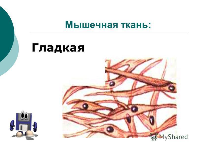 Мышечная ткань: Гладкая