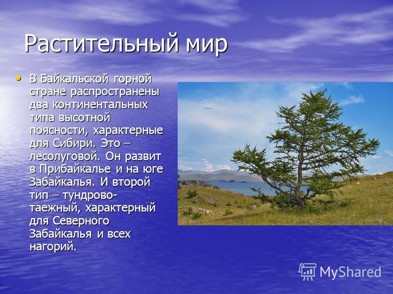 Растительный мир В Байкальской горной стране распространены два континентальных типа высотной поясности, характерные для Сибири. Это – лесолуговой. Он развит в Прибайкалье и на юге Забайкалья. И второй тип – тундрово- таежный, характерный для Северно