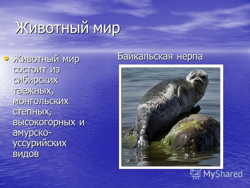 Животный мир Животный мир состоит из сибирских таежных, монгольских степных, высокогорных и амурскойй- уссурийских видов Животный мир состоит из сибирских таежных, монгольских степных, высокогорных и амурскойй- уссурийских видов Байкальская нерпа
