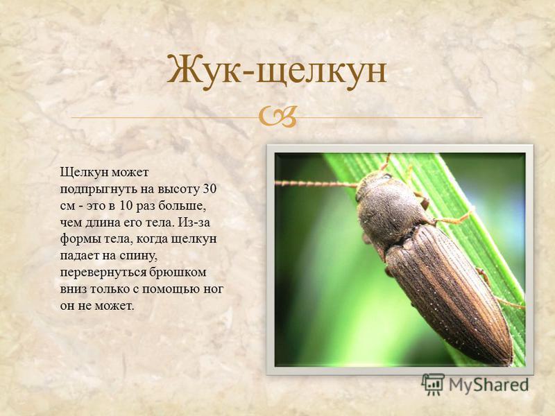 Жук - щелкун Щелкун может подпрыгнуть на высоту 30 см - это в 10 раз больше, чем длина его тела. Из - за формы тела, когда щелкун падает на спину, перевернуться брюшком вниз только с помощью ног он не может.